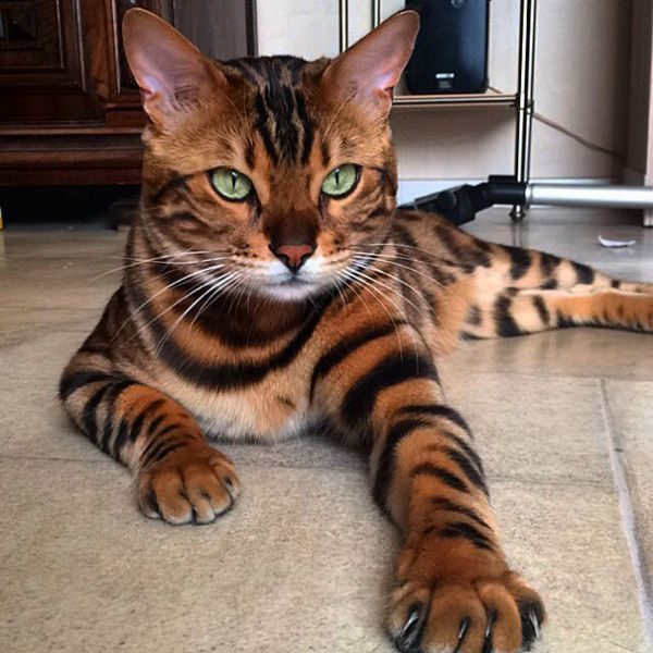 bengal-cat-spots-fur-thor-5-600x600